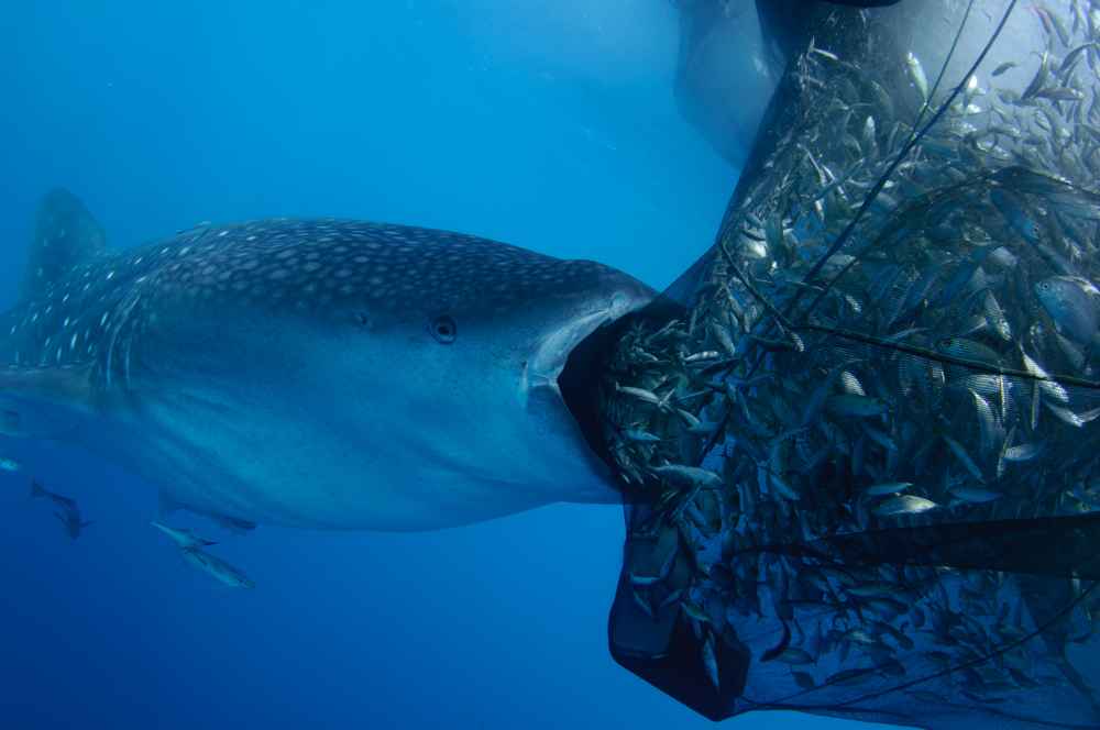 Whaleshark sucking on a net memoirs of an underwater for Fish trap net