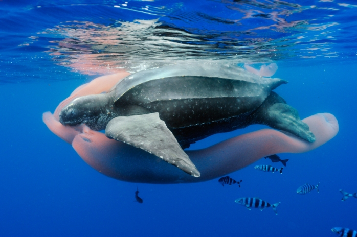 Feast of the ancient mariner - (Brian Skerry / Wildlife Photographer of the Year 2013)