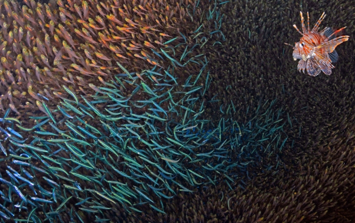 Lionfish bait - (Alex Tattersall / Wildlife Photographer of the Year 2013)