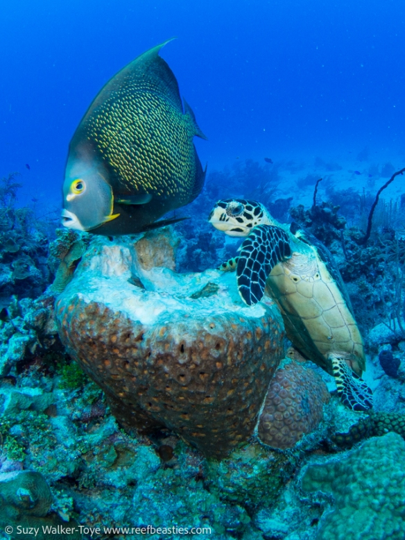 Turtle eating a sponge and an Angel fish hanging around for a free meal, Cayman 2016