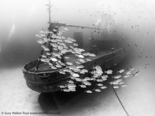Kittiwake Jacks (Black & White), Cayman 2016