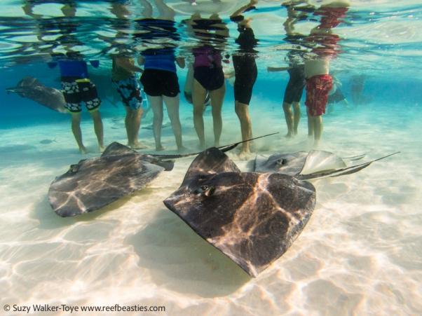Bottoms! Stingrays at stingray sandbar, Cayman 2016
