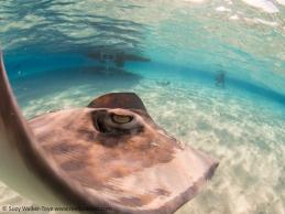 Photobombed at stingray sandbar, Cayman 2016