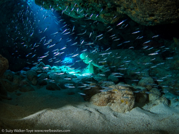 Silversides at Snapper Hole (off camera strobe), Cayman 2016