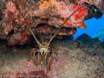 Lobster at Snapper Hole, Cayman 2016