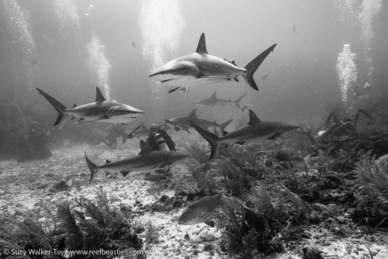 Reef Sharks & Divers, Cayman 2016