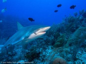 Reef Shark, Cayman 2016
