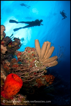 3-divers-and-a-red-sponge_31782178461_o