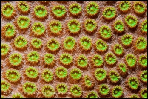 coral-pattern_31861091696_o