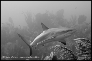 reef-shark-bw_31750946042_o