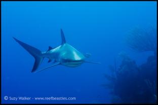 reef-shark-heading-towards-me_31782144521_o