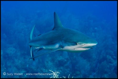 reef-shark_31782120661_o