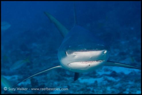 reef-shark_5533166586_o