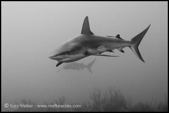 reef-sharks-bw_31861204376_o