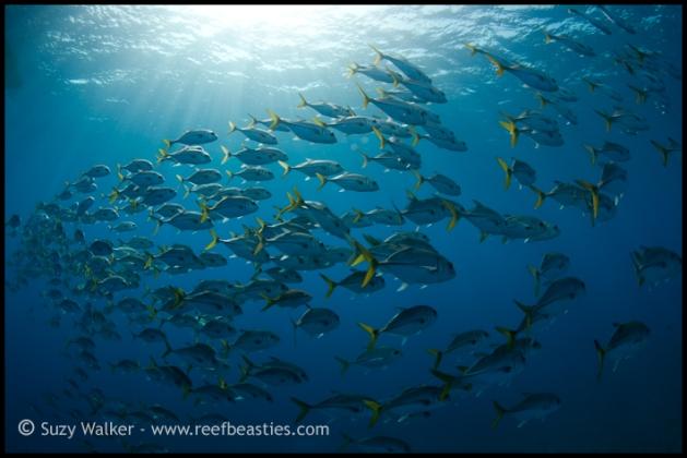 schooling-fish_31898698355_o