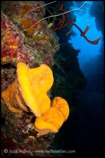 yellow-ear-sponges_31750944902_o